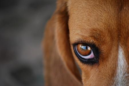 stockvault-beagle106599