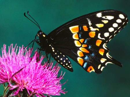 Beautiful-Butterfly-Wallpapers-Full-Size